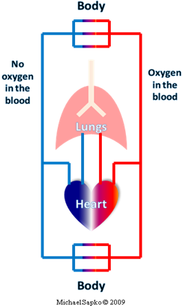 the circulatory system journey of a The lymphatic system aids the immune system in removing and destroying waste   90% of this fluid returns to the circulatory system as venous blood  own  vessels making a one-way journey from the interstitial spaces to the.